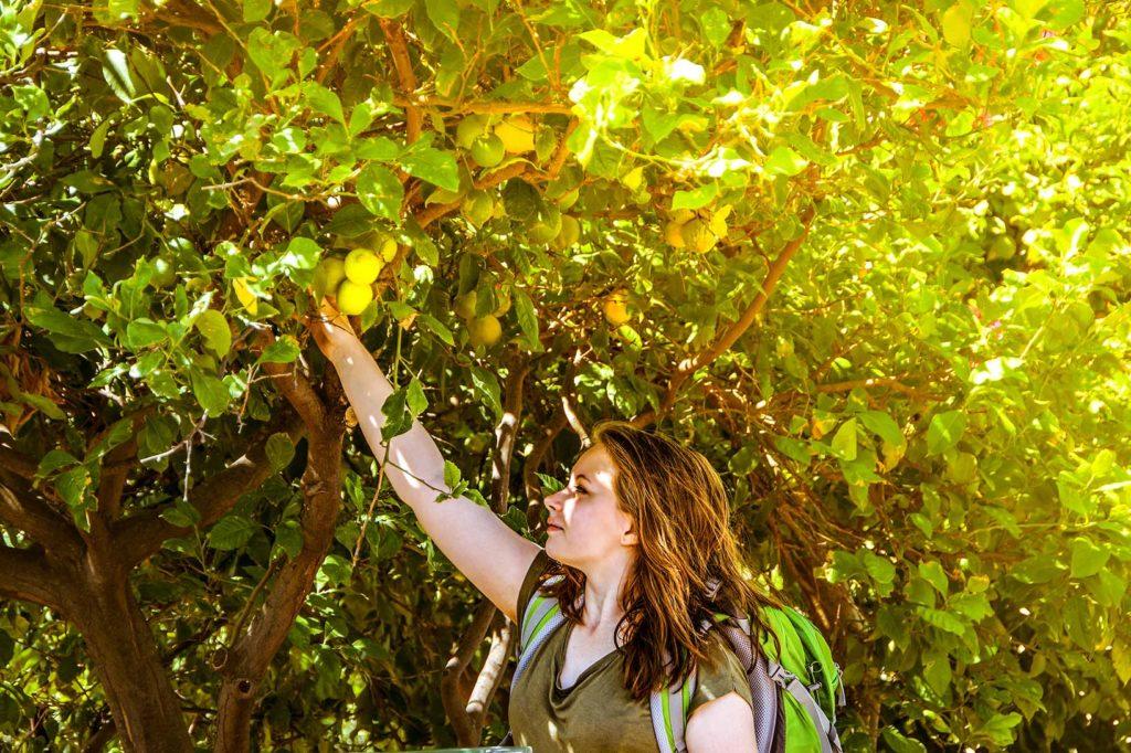 Frau pflückt Zitronen von einem Zitronenbaum.