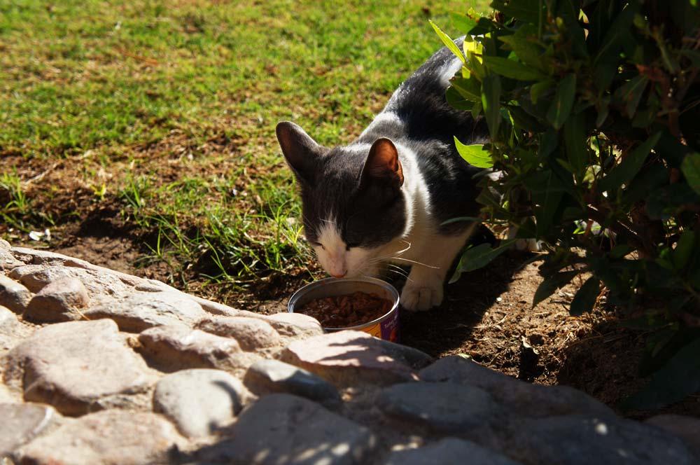Katze frisst Katzenfutter aus einer kleinen Dose vor der Senzo Mall in Hurghada.